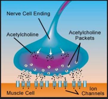acetylcholine-999999999