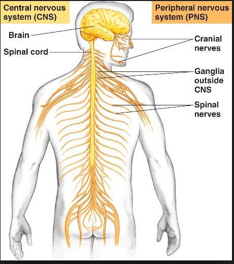 cns central nervous waco